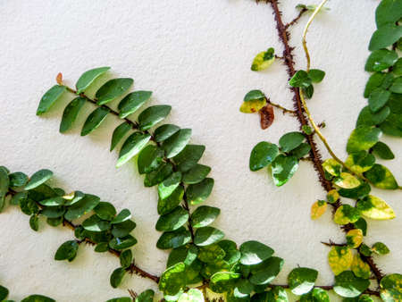 garden wall: Green leaf border, Isolate of plant on the wall in garden