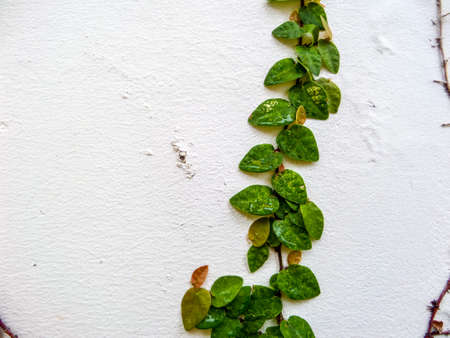 complexion: Green leaf border, Isolate of plant on the wall in garden