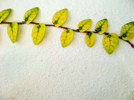temperament: Green leaf border, Isolate of plant on the wall in garden