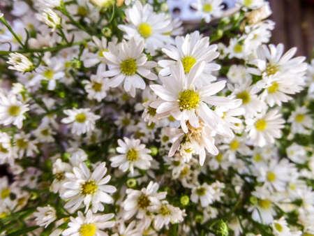 daisys: daisy bloom in the garden