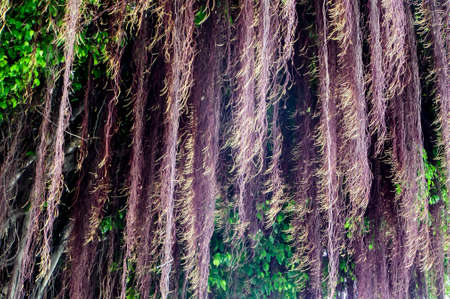 light complexion: Amoung of banyan tree roots in forest
