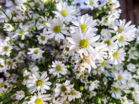 daisys: white daisy bloom in the garden