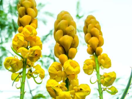 erect: Indian senna - erect shrub having racemes of tawny yellow flowers Indian senna - erect shrub having racemes of tawny yellow flowers