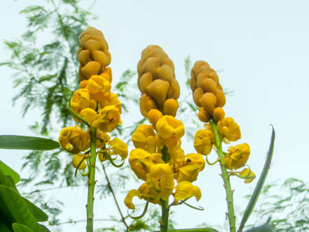 erect: Indian senna - erect shrub having racemes of tawny yellow flowers Indian senna - erect shrub having racemes of tawny yellow flowers