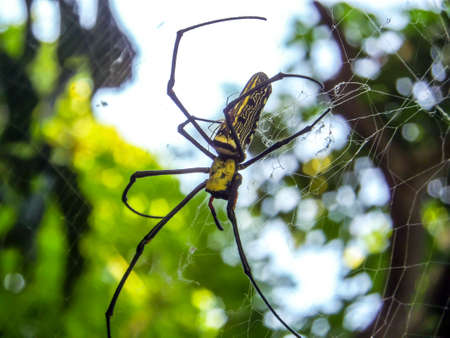 golden orb weaver: Black And Yellow Spider And Black Long Legs Stand On Web In The Air Stock Photo