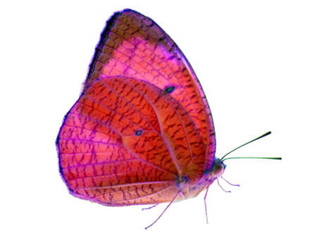 light complexion: Butterfly on isolate and transparent wing Stock Photo