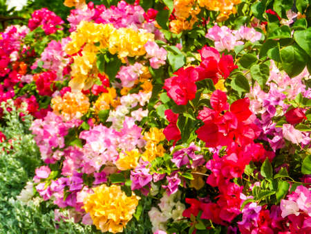 colour in: buganvillas color del arco iris en el jardín