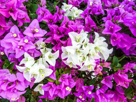 color in: bougainvillea purple and white color in the garden
