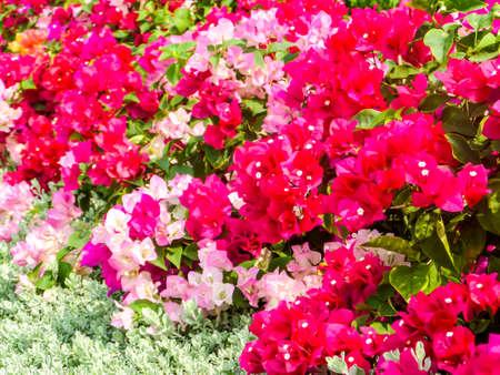 color bougainvillea: bougainvillea red and white color in the garden Stock Photo