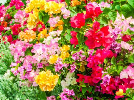 color bougainvillea: bougainvillea rainbow color in the garden