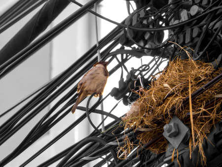electric line: The family of bird live in nest on electric line