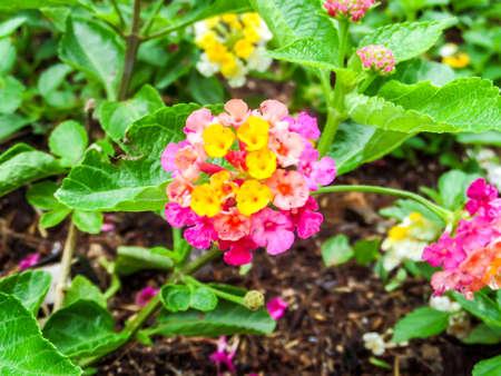 lantana: Lantana bloom colorful and water on flower