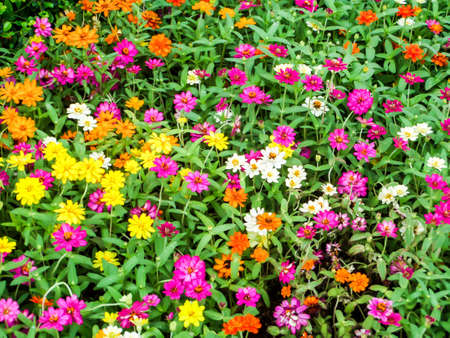 temperament: The zinnia flower is one of the most exuberant flowers you will want to grow in your garden. Among one of the easiest flowers to grow Stock Photo