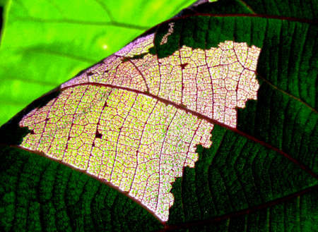 small crystallize detail of leaf and area of worm eat background Stock Photo