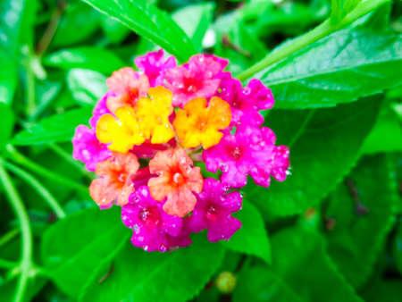 lantana: Lantana mix light pink magenta yellow water drop on flower Stock Photo