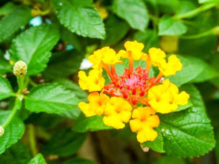 lantana yellow colorful tone beauty flower in garden