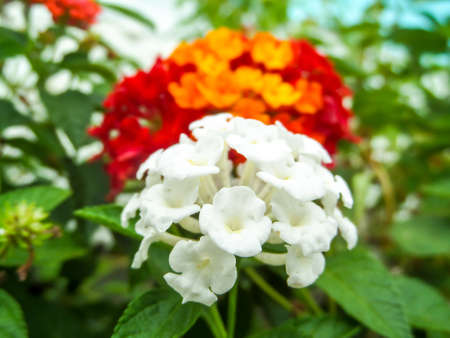 lantana pure white and red yellow orange colorful tone beauty flower in garden
