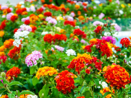 lantana colorful tone beauty flowers in the garden Stock Photo