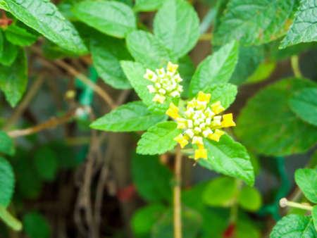 lantana little beauty flower bloom in garden