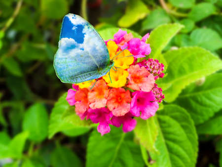 butterfly sky wing on lantana magenta yellow colorful tone beauty flower in garden