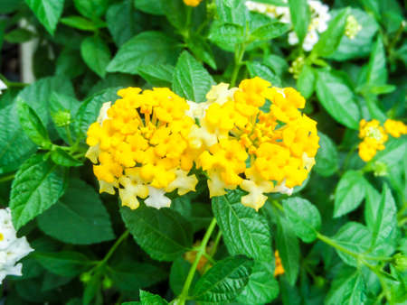 lantana: lantana beauty colorful white and yellow flower bloom in garden