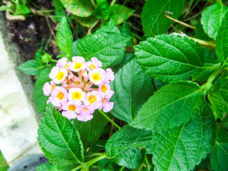 lantana: lantana mix colorful beauty white yellow pink flower bloom in garden Stock Photo