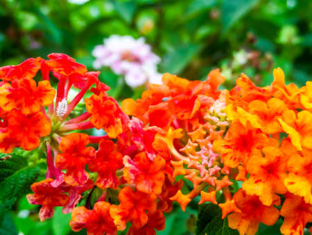 Lantana red orange yellow colorful tone beauty flower in garden lantana red orange yellow colorful tone beauty flower in garden stock photo 74039107 mightylinksfo