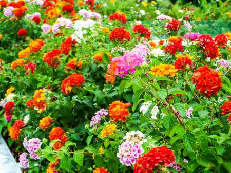 lantana: lantana colorful tone beauty flowers in the garden Stock Photo