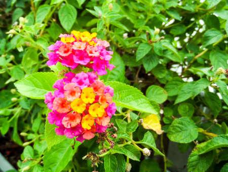 lantana magenta yellow orange colorful tone beauty flower in garden Stock Photo