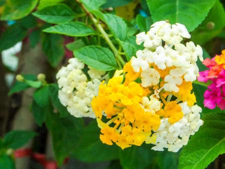 lantana: lantana colorful white yellow tone beauty flower in garden