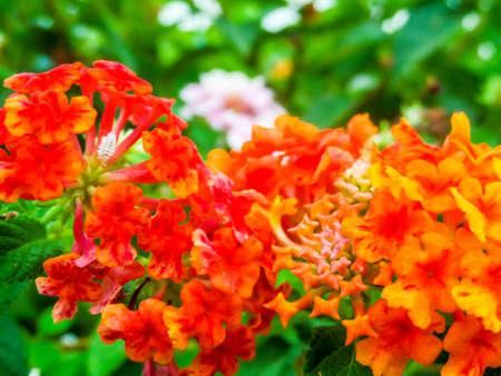 Lantana red orange yellow colorful tone beauty flower in garden lantana red orange yellow colorful tone beauty flower in garden stock photo 75246482 mightylinksfo