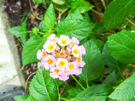 lantana mix colorful beauty white yellow pink flower bloom in garden Stock Photo