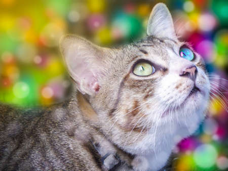 the two eye color cat look outside window colorful background