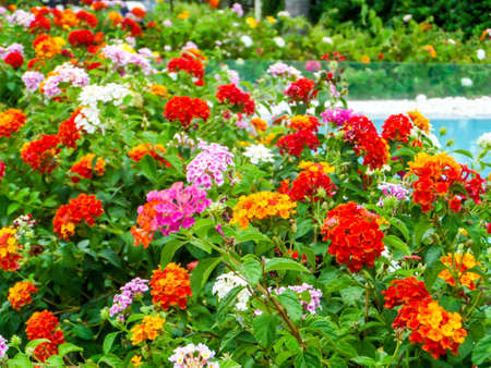 lantana colorful tone beauty flower between garden and swimming pool Stock Photo