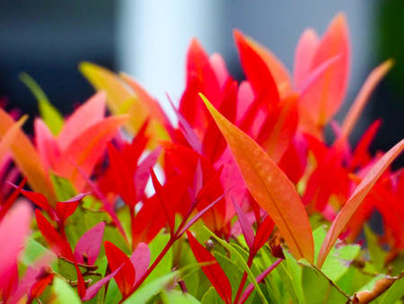 young red leaves of top christina decorate plant in garden
