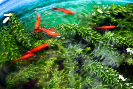 red Molly, Moonfish swimming between green weed in fish tank Stock Photo