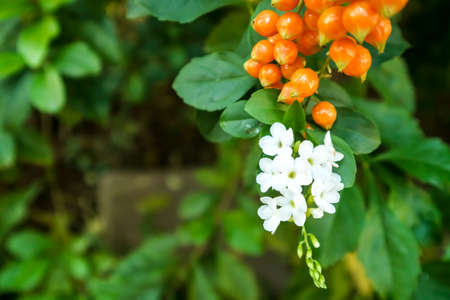 Golden Dew Drop, Pigeon Berry, Sky Flower ( Duranta erecta ), The flowers are light-blue or lavender, fruit is a small globose species of flowering shrub in the verbena family Verbenaceae, native from Mexico to South America and the Caribbean