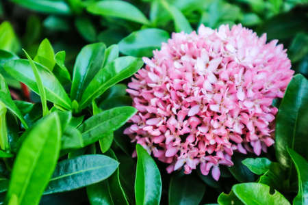 Ixora is a tropical to semi-tropical evergreen shrub that is suitable for landscapes in Thailand