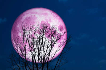super full pink moon back on silhouette tree in dark on the sky