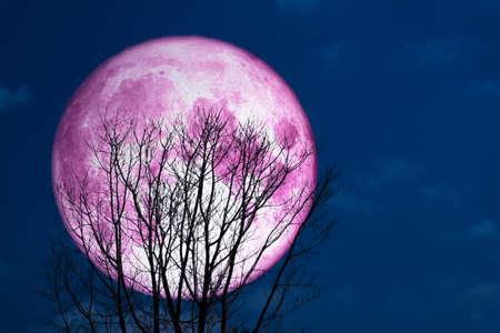 super volle roze maan terug op silhouetboom in donker aan de hemel Stockfoto