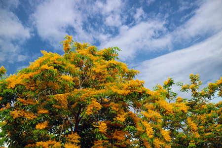 Burma padauk definition  a tree of India and Burma yielding a wood resembling mahogany and blue sky background