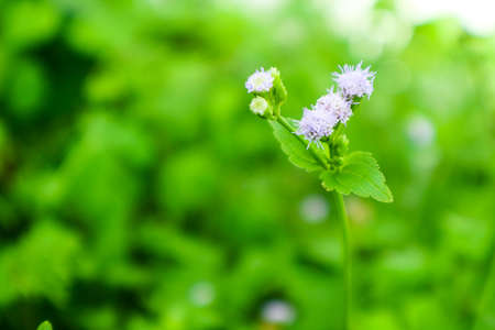 little flower of weed on grass booming after rain fall in the garden green leaves background