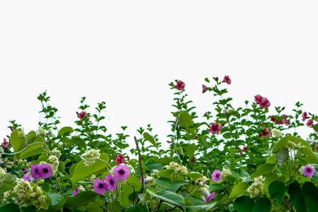 Elefante enredadera, planta Silver Morning-glory y flor morada en el techo aislado
