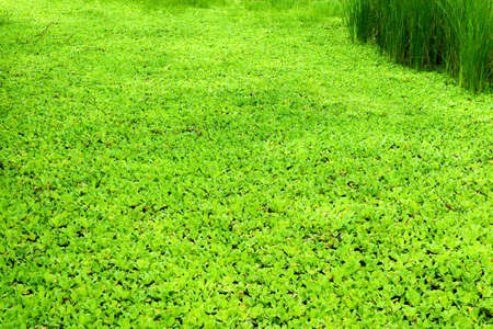 Water Lettuce or Pistia stratiotes, a popular water garden plant has an interesting history
