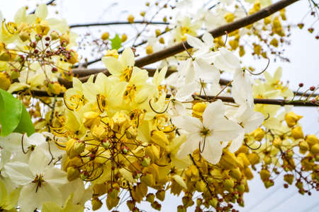 Cassia hybrid was born Cassia fistula and Cassia bakeriana. Flower has white and yellow color