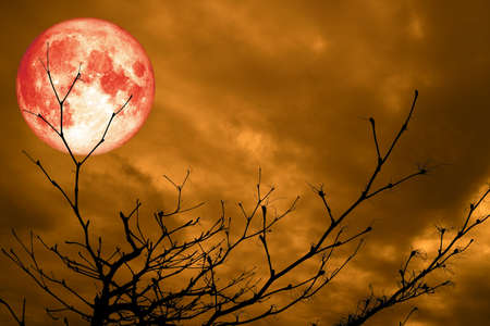 full red blood moon back silhouette branch dry tree night blue cloud Stock Photo