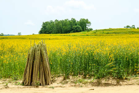 sunhemp in the valley,Poise to increase soil fertility. When grown up, it will be plowed to make fresh manure. To prepare another plant