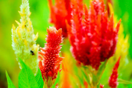 Celosia flower bouquet is bloom in the garden during the summer Stock Photo
