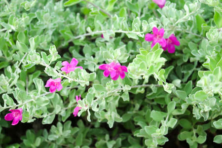 Small shrub Stems break many branches, they set up Dense bush, Fresh purple flowers to pinkish-red Single flowering along the axillary at the end of the branch