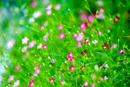 colorful beautiful pink gypsophila boutique flower in the garden 스톡 콘텐츠